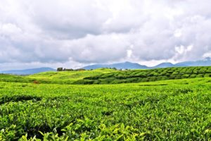 Image result for Kayu Aro Tea Plantation 300 x 200